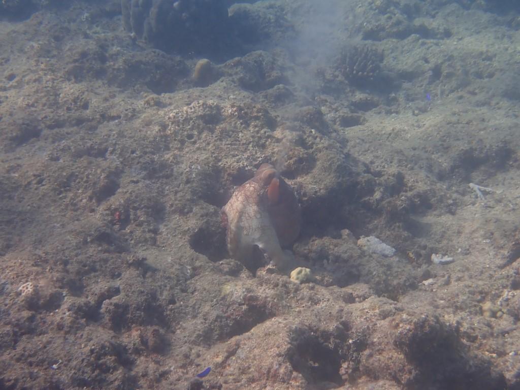 South Sea Island, Fiji, Fidschi, Schnorcheln, Oktopus, Krake