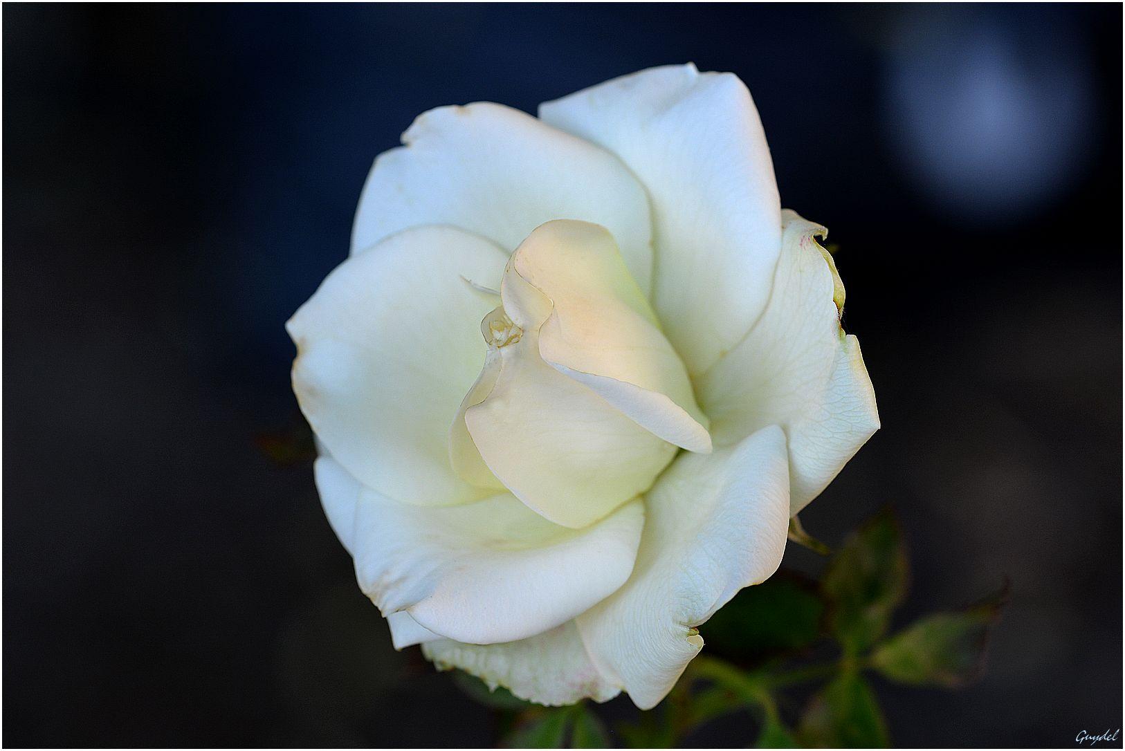 La douce blanche