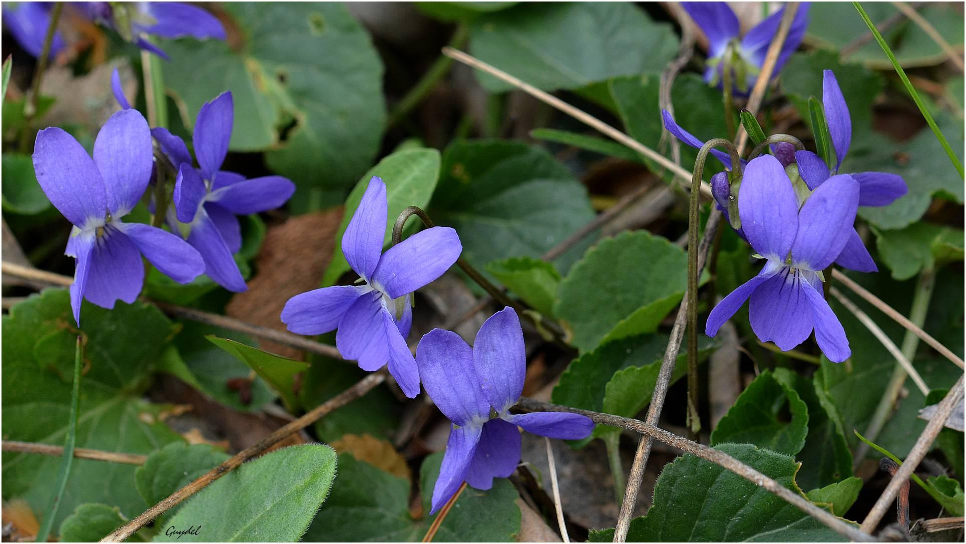 Quelques timides violettes
