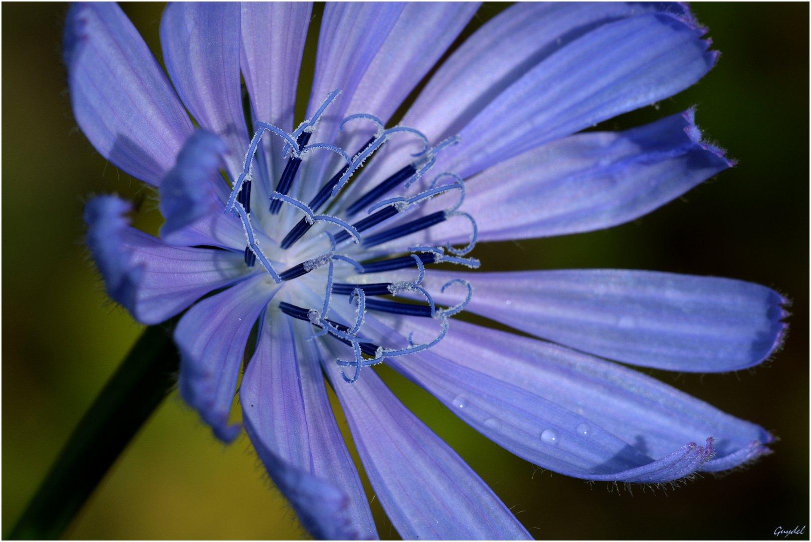 Les nanotubes de la fleur de chicorée sauvage