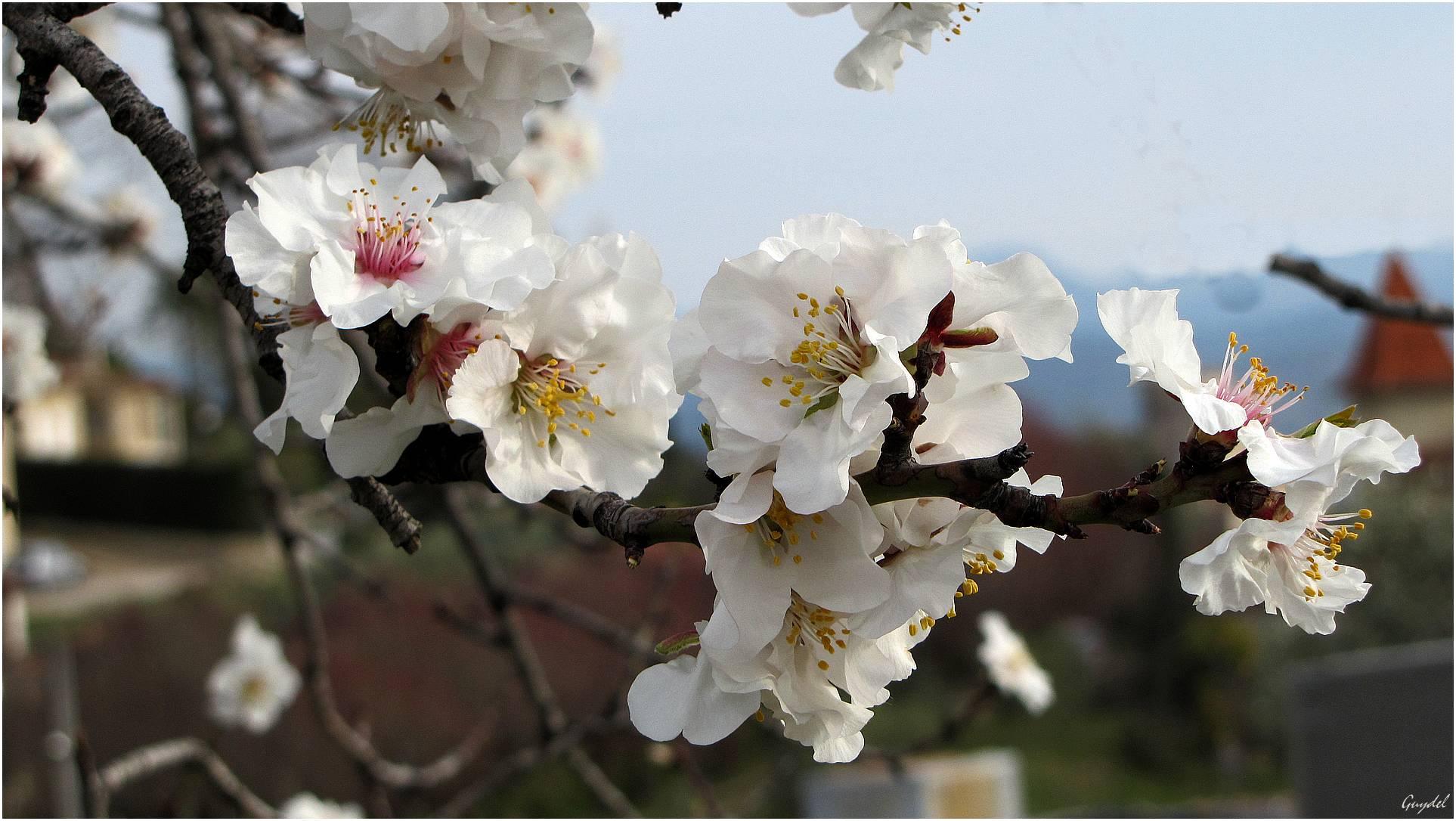 Les amandiers sont en pleine floraison !