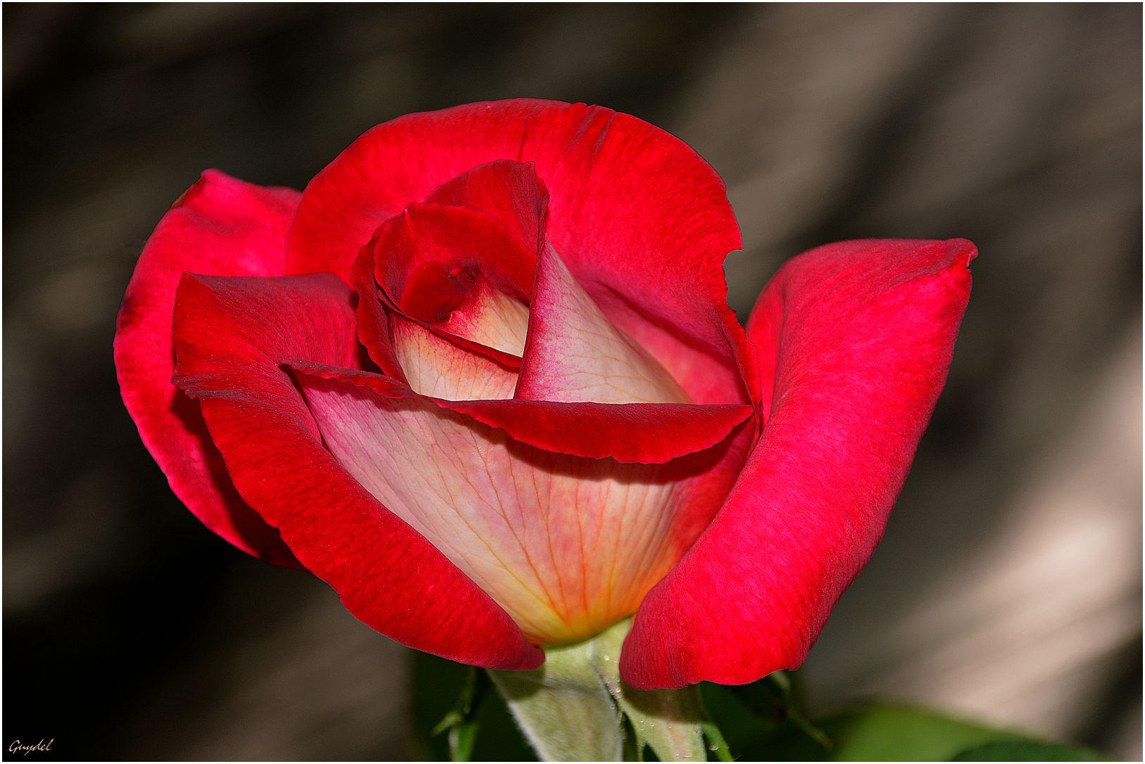 La belle rouge !