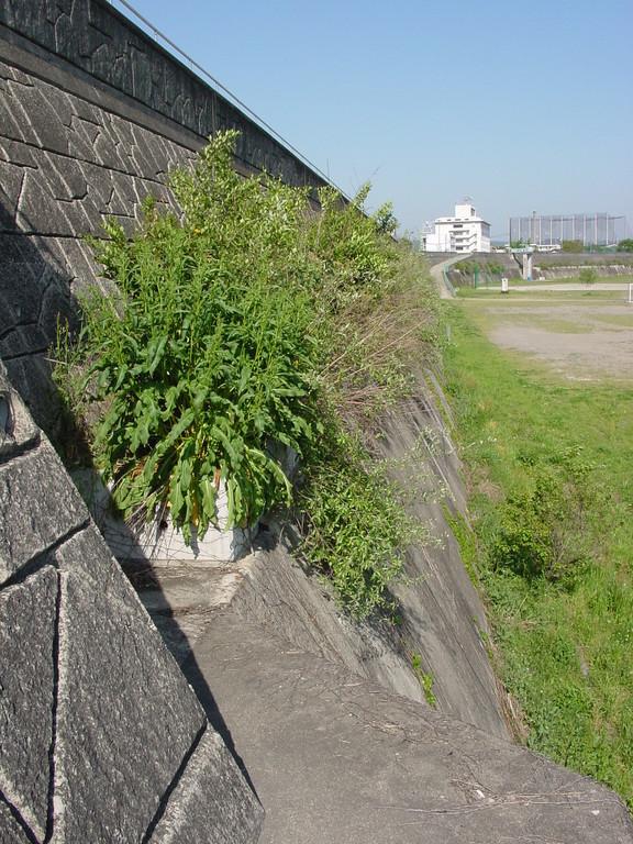木曽川美濃加茂特殊堤緑化 2000年