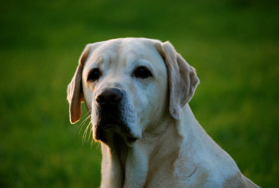 unser großer Junge - das ist mal ein Labrador Retriever