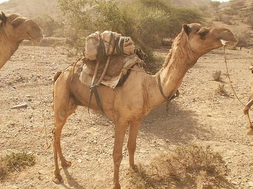 ダナキル砂漠のラクダ