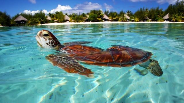 ボラボラ島で優雅に泳ぐウミガメ