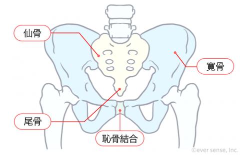 骨盤の形成