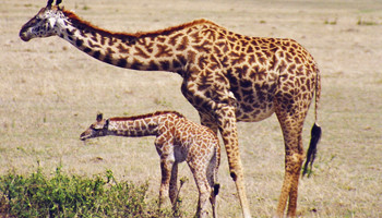 マサイマラ、キリンの親子