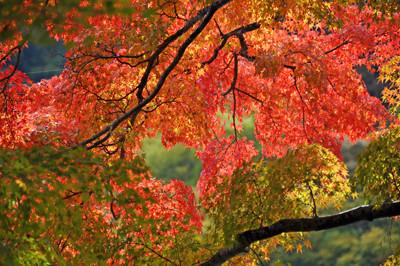 緑葉、黄葉、紅葉、折り重なるイチョウの枝