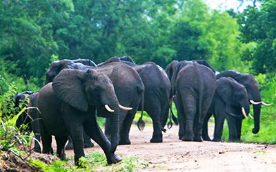 セルー・ゲーム・リザーブのアフリカゾウの群れ