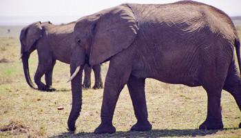 マサイマラ、ゾウの親子