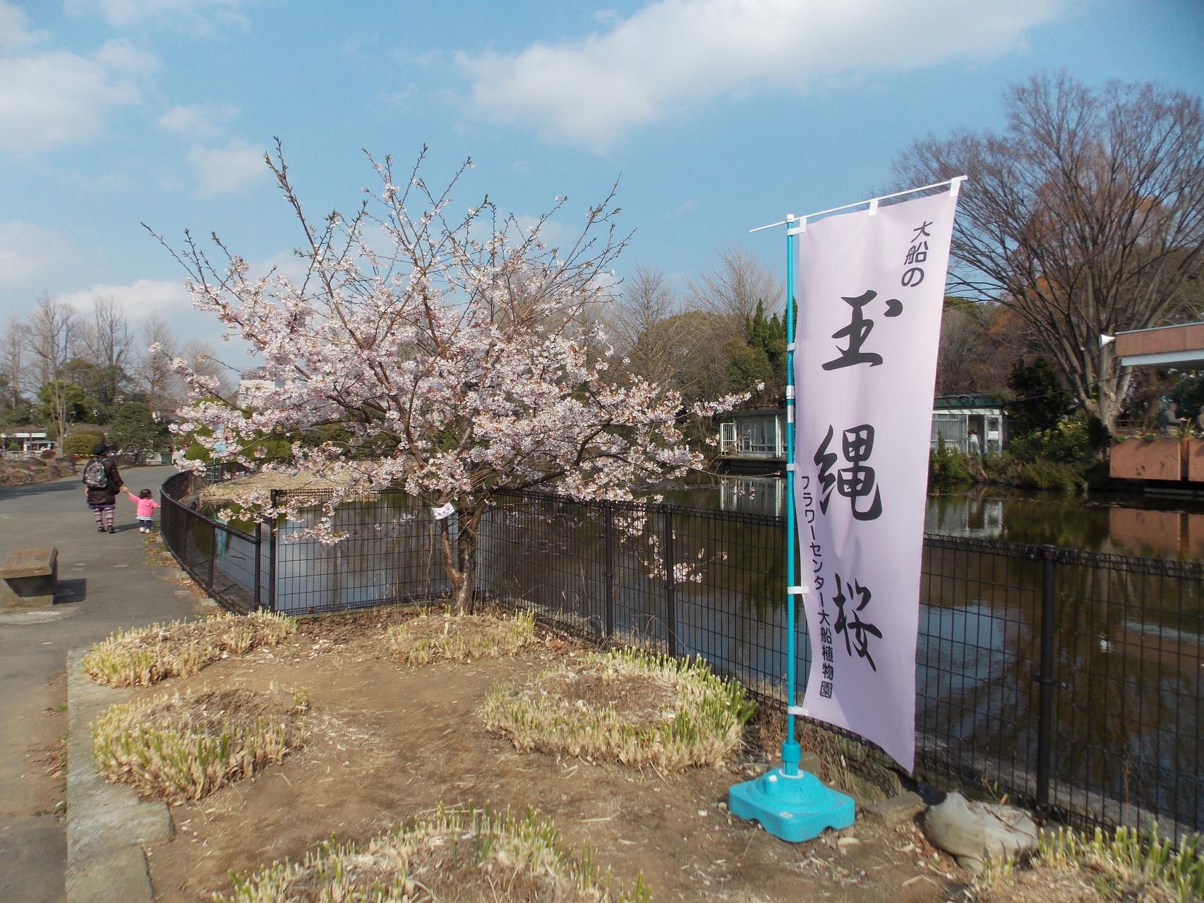 大船フラワーセンター・玉縄桜