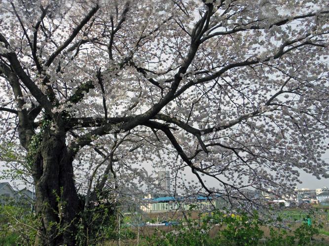 相州道の一本桜