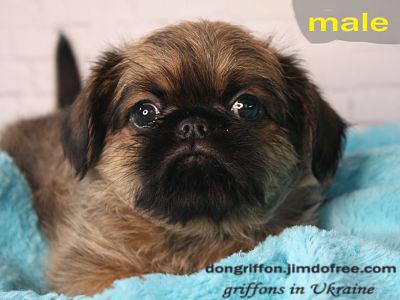 "brussels griffon puppy for sale. Griffons Kennel ""Zabavnaya Roskosh'"""
