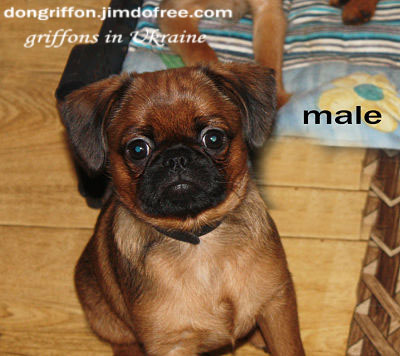 brussels griffon puppy for sale. male petit brabancon. Red smooth