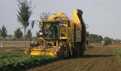 Die Erntemaschine zur Zuckerrübenernte hebt die Rüben aus der Erde und befreit sie vom Blattwerk.
