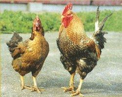 国産 鳥取県産 銘柄鶏 大山しゃも 胴ガラ 1羽分 冷凍品 しっかりとした肉質と軍鶏の美味しさ【大山しゃも】 鳥取県で軍鶏をベースに開発された鳥取県の地鶏で、自然に恵まれた山陰の霊峰大山の麓で、原種鶏、種鶏から飼育し、孵化・生産・処理と一貫した体制の中で生産しております。 飼育には「鳥取地どりピヨ(大山シャモ)」専用の特殊飼料を使用し、飼育期間も約120日間と長期飼育しており、うま味・コクとほどよい歯ごたえが自慢の地鶏であり、農林規格に合致した絶品の地鶏です。