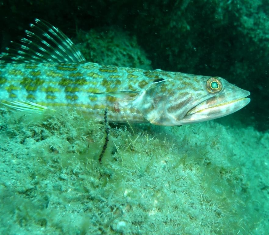 Eidechsenfisch, Ilha Grande, 13.07.2010