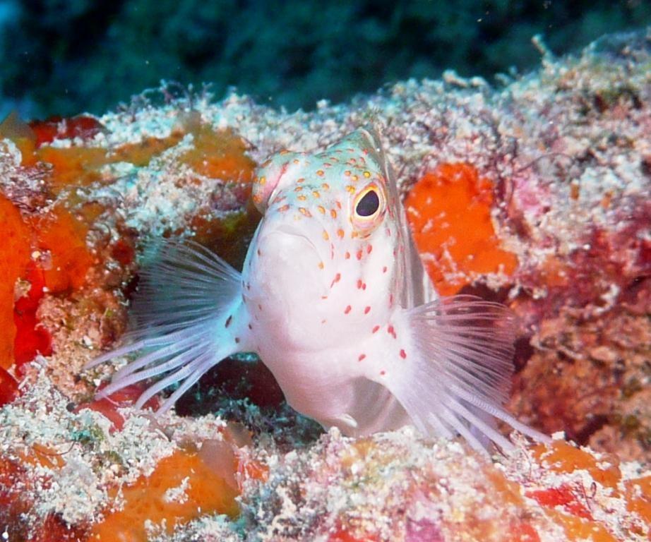 Pinos o. Sarampinho (Redspotted hawkfish), Amblycirrhitus pinos, Recife, 21.01.2010