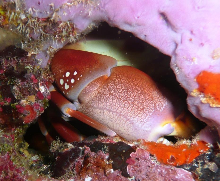 Versteckte Krabbe, Fernando de Noronha, 12.10.2009