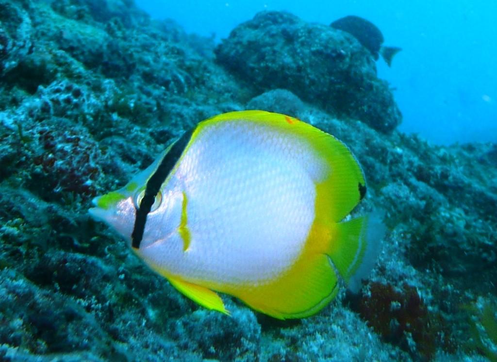 Borboleta ocelado (Spotfin butterflyfish), Chaetodon Ocellatum), Natal, 09.01.2010