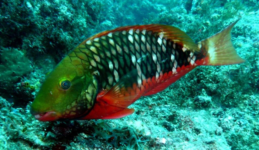 Papagaio de Recife (Brazilian Parrotfish) Sparisoma amplum, Natal, 07.01.2010