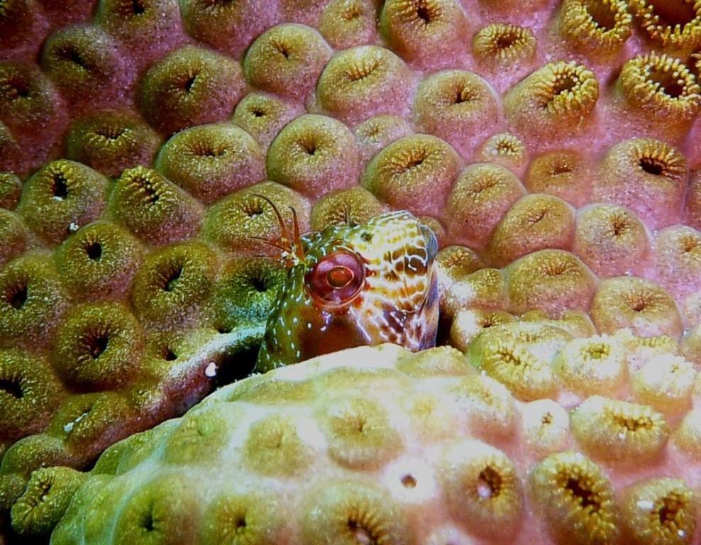 Maria da toca, macaco das pedras, macho, Parablennius pilicornis, Ilha Grande, 24.04.2009