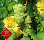 Bild mit einem Spross Weintrauben