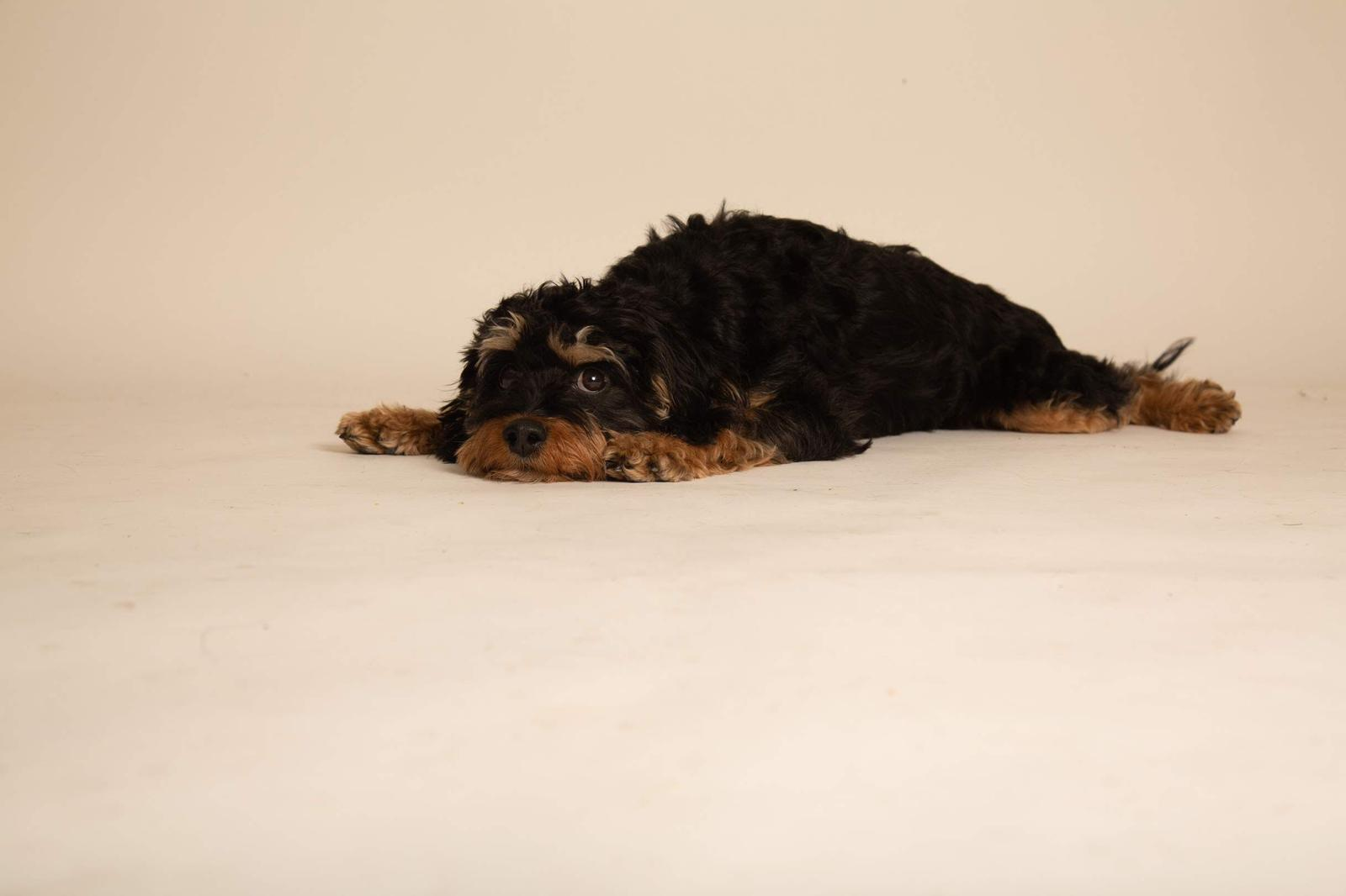 Baboy AKA @dogwithsign (cavapoo) shows off her adorable chin rest