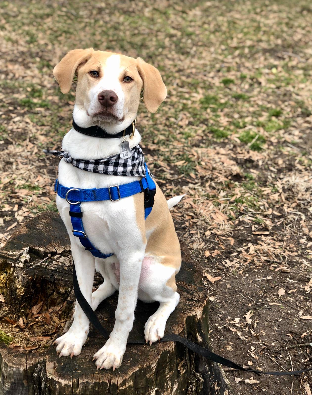 Hayes (pitt hound mix) shows off his good boi sit