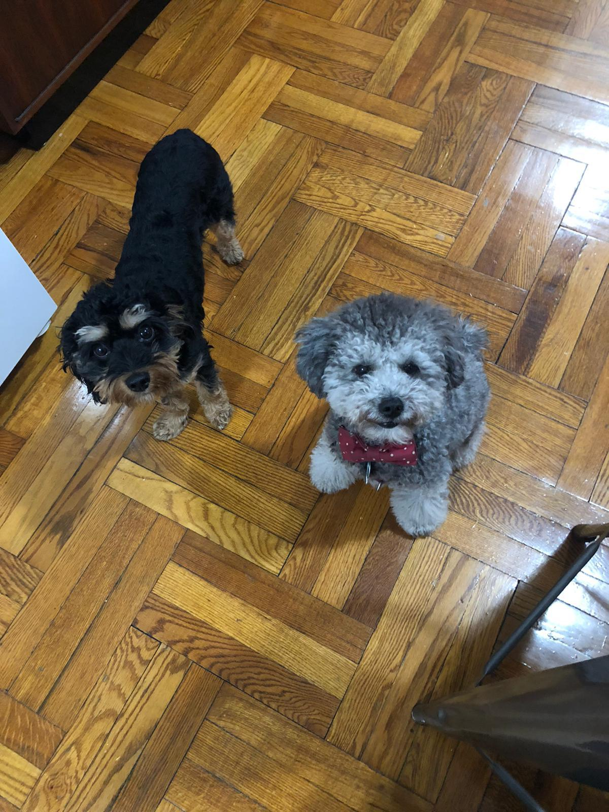 Baboy (cavapoo) and Theo (mini poodle) - best friends for life