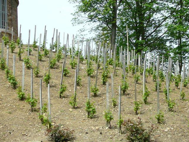 Plantation de la vigne en 2004