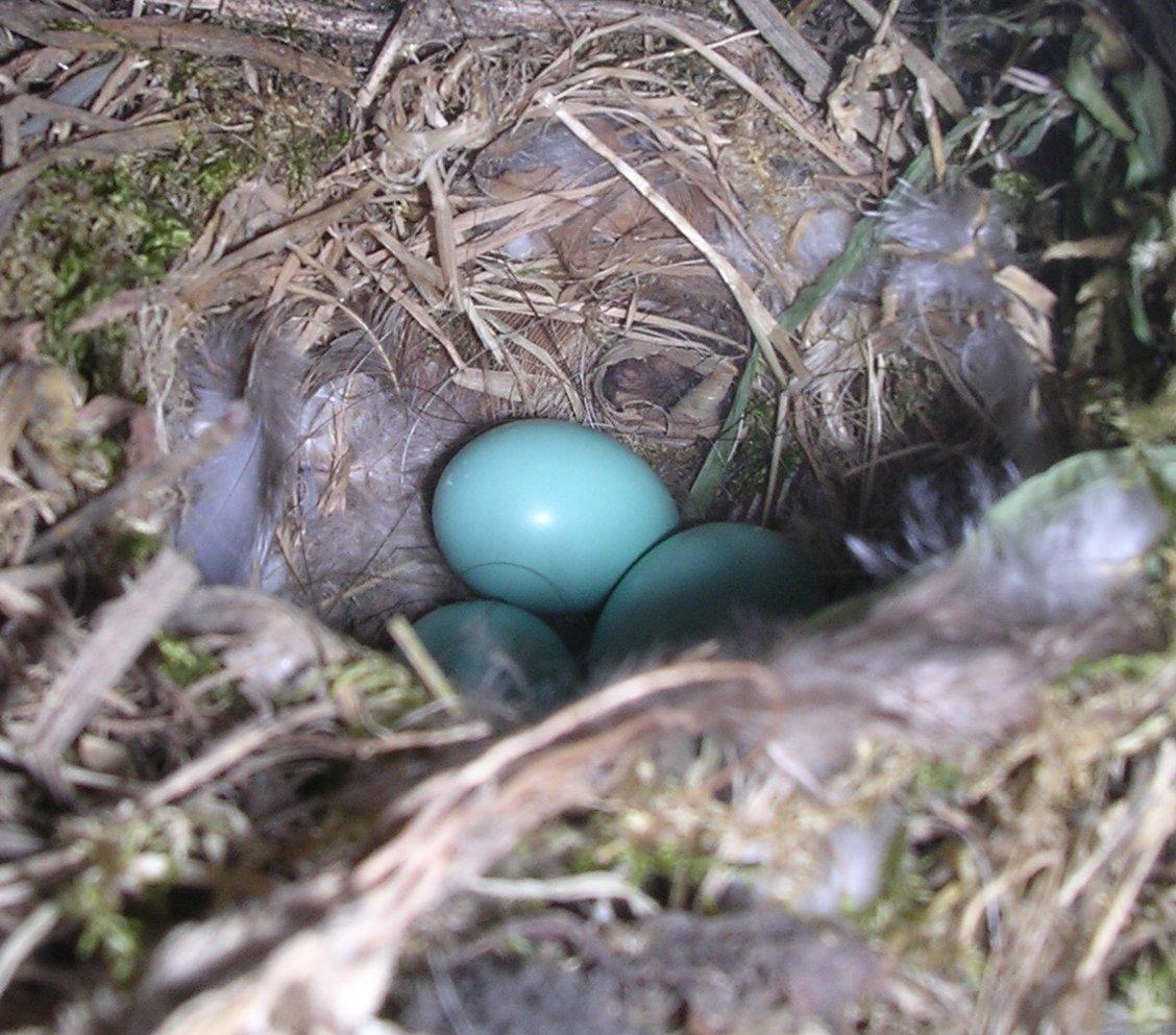 Nest mit Gelege