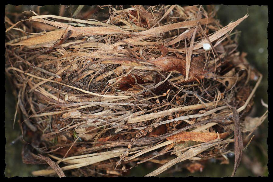 Nest des Trauerschnäppers