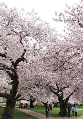 米国ワシントン大学構内の桜(2011年4月撮影)