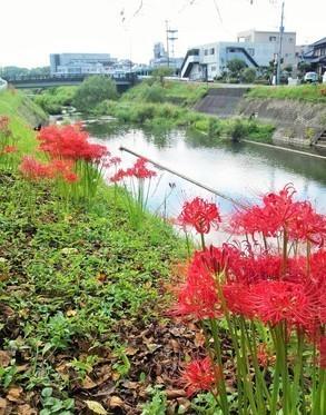病院横の三重川河畔に咲いた本日の彼岸花です。