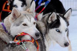 Winterurlaub heißt Huskytouren in Schweden
