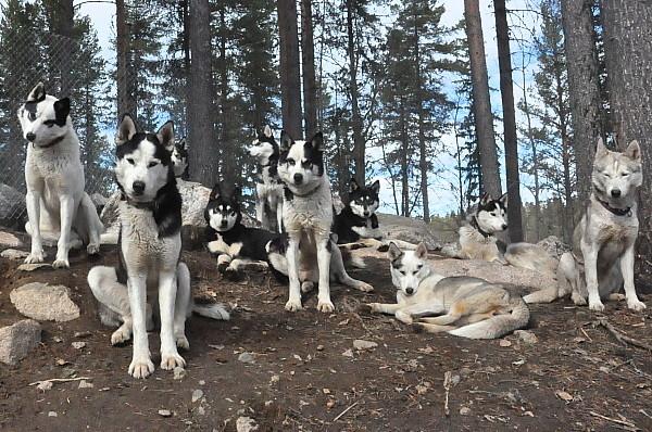 Erleben sie Schlittenhunde in Schweden ...