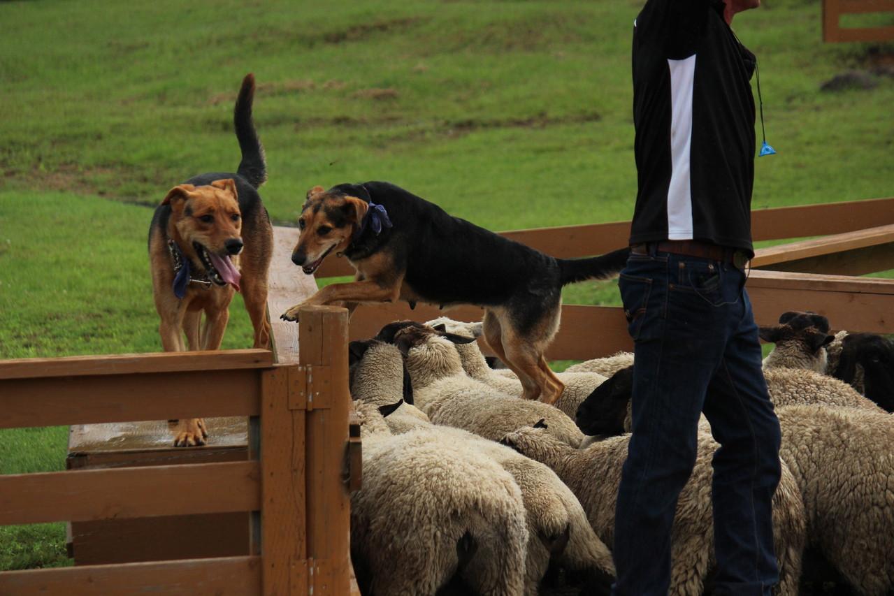 羊の上に飛び上がっている