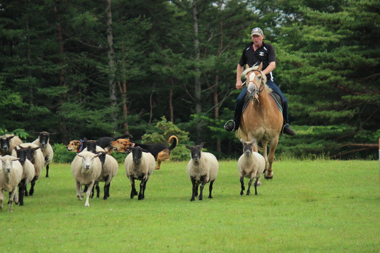 ニュージーランド人の牧童が笛で犬に指示をして羊を追いこむショー