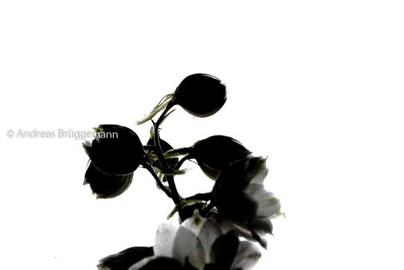 Portrait einer Blume_2
