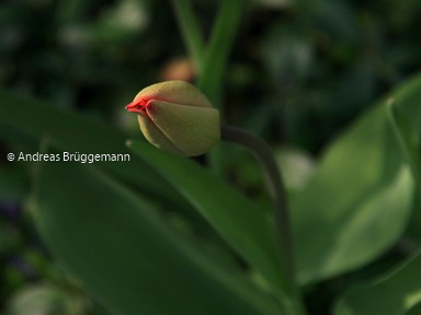 kiss from the tulip