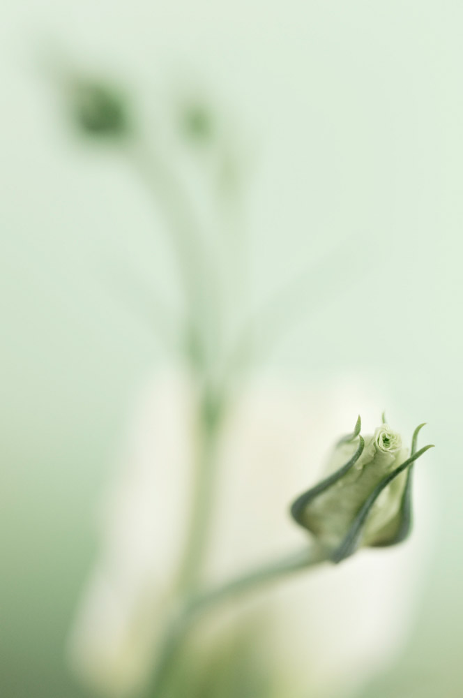 Eustoma lisianthus