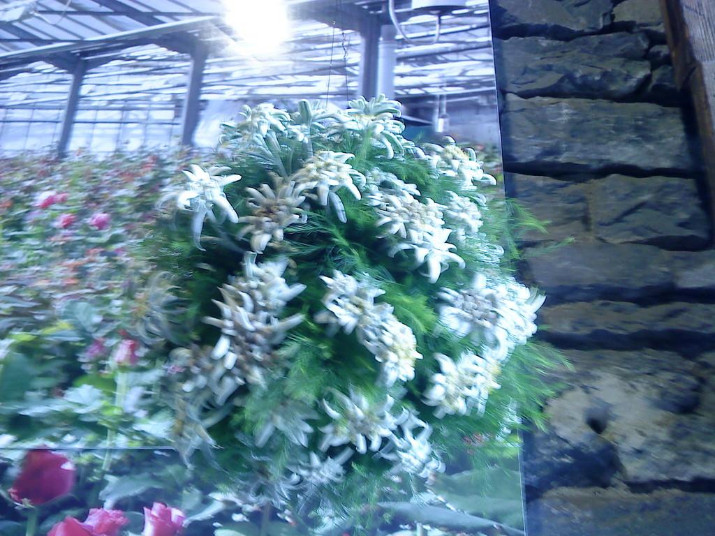 Voilà un bouquet d' edelweiss