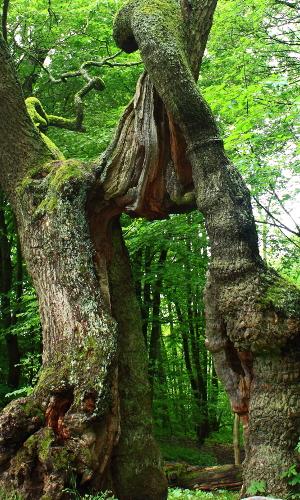 Betteleiche - Nationalpark Hainich