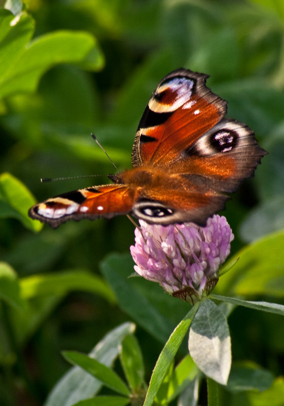 SCHMETTERLING, Admiral (MP0312) © Michael Pfenning