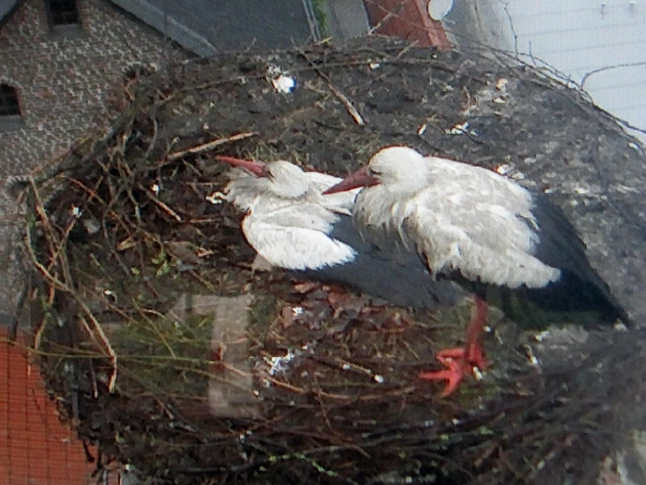 22. Mai - Hillerichs versuchen noch zwei Jungvögel zu schützen