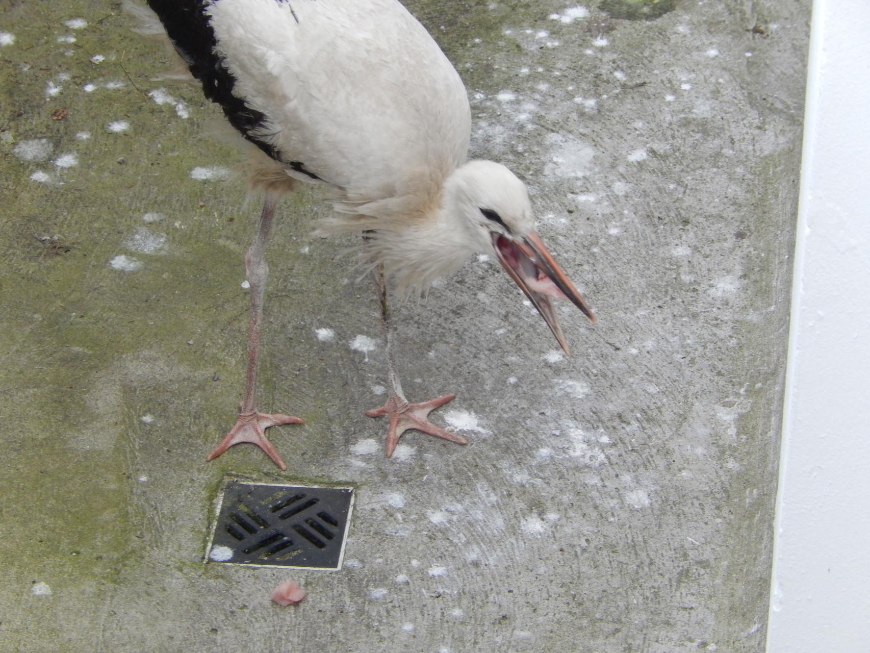 gefüttert: in Obhut wurde 2T642 mit Hähnchenfleisch versorgt