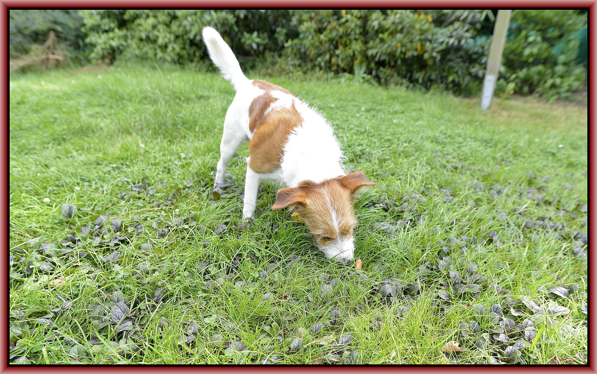 Fritz sucht verstreute Leckerlis in der Wiese, so habe ich meine Ruhe, hihi.