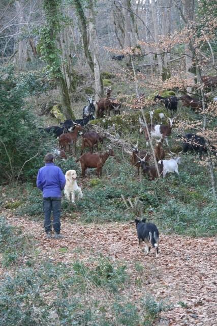 Parcours quotidien des chèvres, Stan toujours prêt